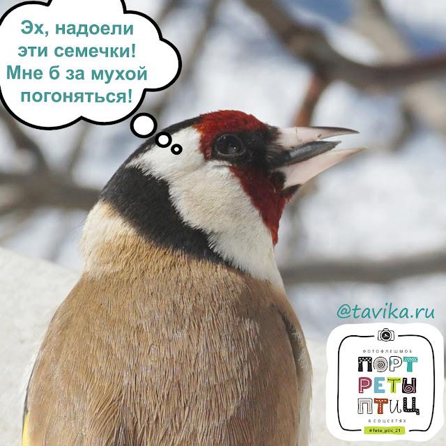 щегол - портреты птиц