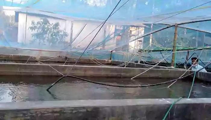 বায়োফ্লক পদ্ধতিতে মাছ চাষ করে আশার আলো ছড়িয়ে দিচ্ছেন মামুন