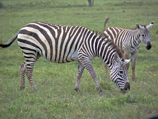 Canvas prints of Zebra and Foal