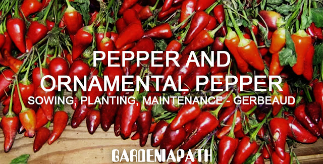 Pepper and Ornamental pepper: sowing, planting, maintenance - Gerbeaud