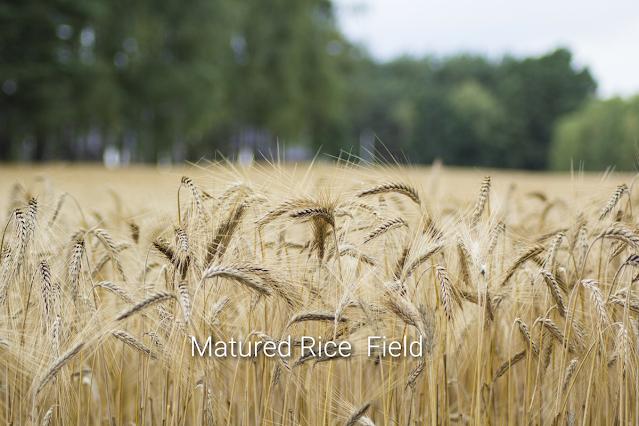 "Alt: = ""photo showing matured rice field"""