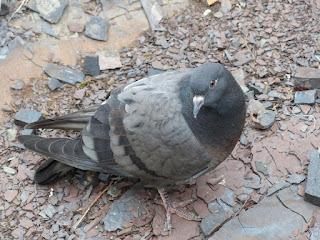 Columba livia - Pigeon biset - Pigeon des villes - Pigeon commun