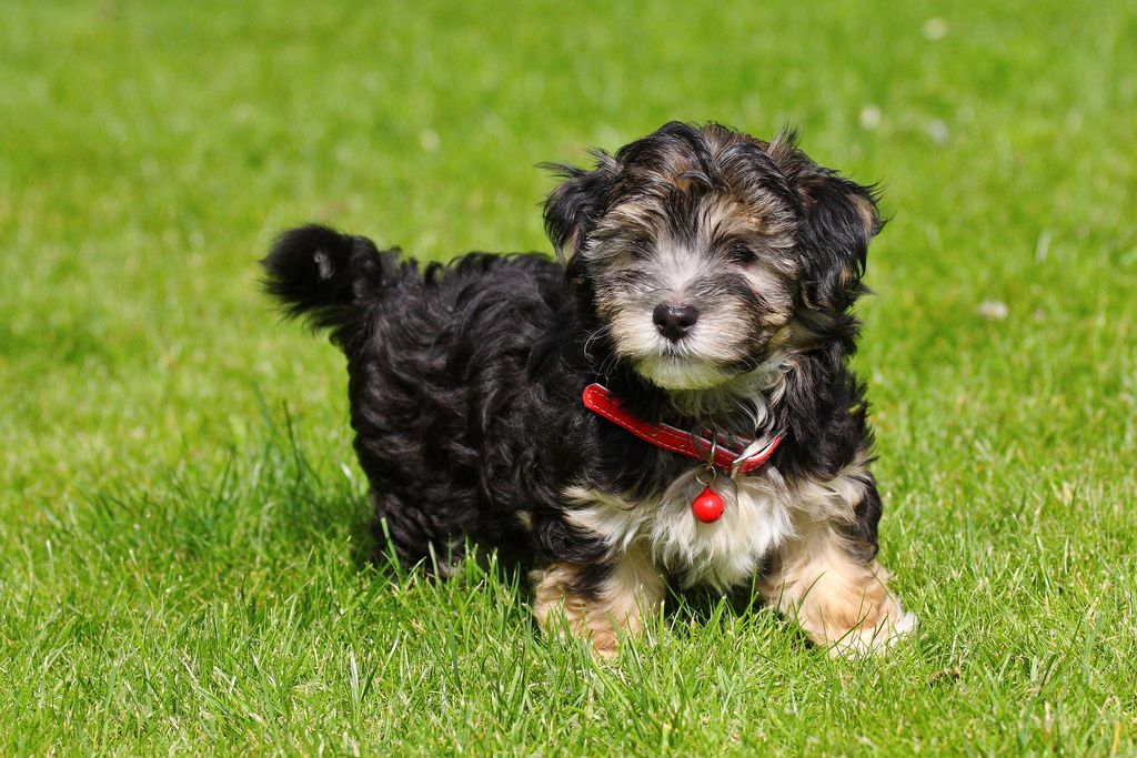 Black and tan Havanese pup 8 weeks