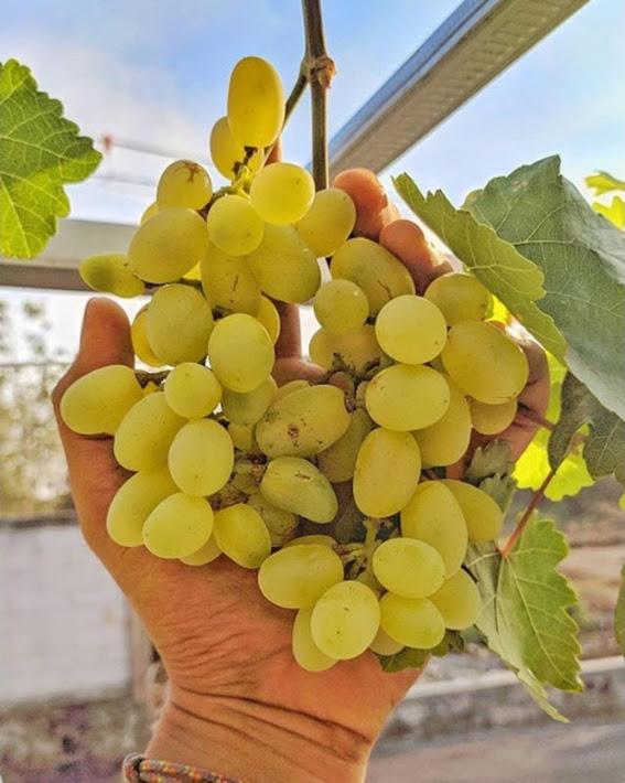 Bibit anggur transfiguration VALID Jawa Tengah