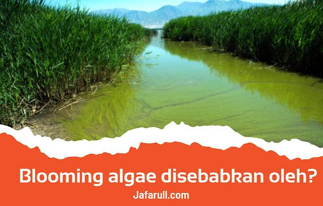 Blooming algae disebabkan oleh