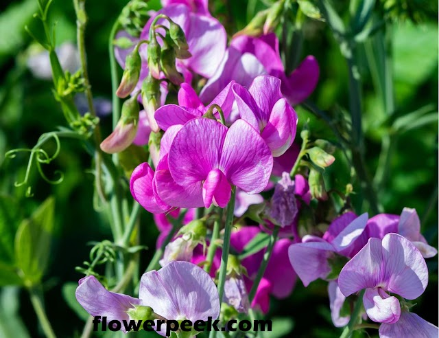 Tips on how to grow Sweet Pea in Pots