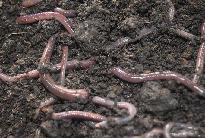 Vermiculture (Vermicompost)-organic fertilizer project preparation