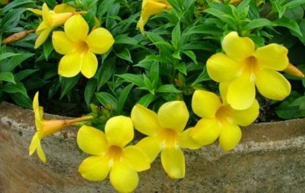 Bunga Alamanda Untuk Pengobatan Malaria