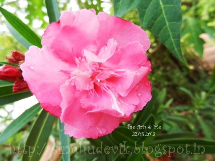 Beautiful pink Neruim Oleander - Karaveera flower.