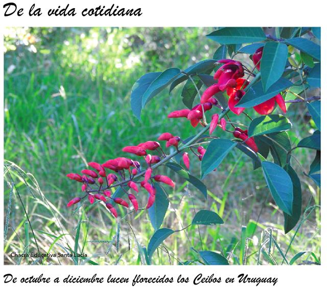 Rama con flores de Ceibo-Chacra Educativa Santa Lucía