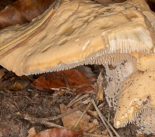 Hydnum repandum, Wood Hedgehog.  Ashdown Forest, 15 October 2017.