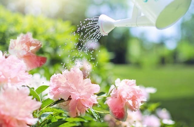 Siramlah mawar secara rutin dan dengan takaran yang tepat