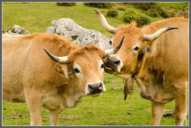 Vacas en Lagos de Covadonga