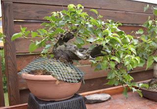 Prunus mahaleb, yamadori, cascade