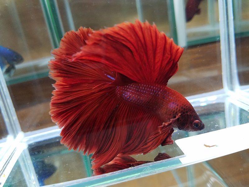 Image Red Betta Fish Names 5