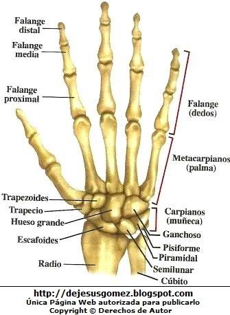 Dibujo de los Huesos de la mano indicando sus partes por Jesus Gómez