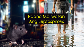 any areas in the country are prone to flooding especially during rainy and storm season due to poor drainage system and blocked  water sewerage passages. Aside from the dreaded dengue carrying mosquitoes thriving in wet and flooded surfaces, there are also victims of leptospirosis caused by drenching in flood waters infected from urine and rat wastes.       Ads  Leptospirosis is a bacterial disease that affects both humans and animals. It is caused by bacteria called Leptospira. In humans, it can cause a wide range of symptoms, some of which may be mistaken for other diseases. Some infected persons, however, may not show any symptoms at all.  Like dengue, the symptoms includes rashes, high fever and other similar signs. Fatality rates are also high like dengue. People who are exposed to leptospirosis are given prophylaxis. It targets the kidneys.  Ads          Sponsored Links     To control the spread of leptospirosis, everyone must observe cleanliness in the surroundings.  According to health secretary Francisco Duque, the DOH can only advice the government to ensure proper and efficient collection of garbage, flood waters has to be drained. The issue has to be addressed environmentally.  Avoid drenching yourself to floodwater especially if you have open wounds, even a small cut. People without any cuts are also not considered safe from the infection.  Should you already immersed yourself in the flood, you need to immediately go to the nearest hospital or health center for consultation. Infected individuals are given Doxycycline or Prophylaxis, an anti-bacterial medication to prevent infection.      The best way to stop the disease is to control rodent population by maintaining a clean environment.