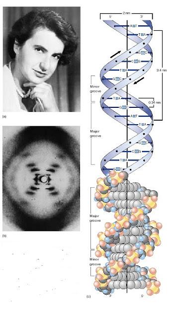 Rosalind Franklin, struktur DNA, difraksi sinar-x pada DNA.