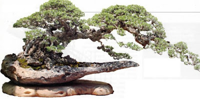 Santigi bonsai