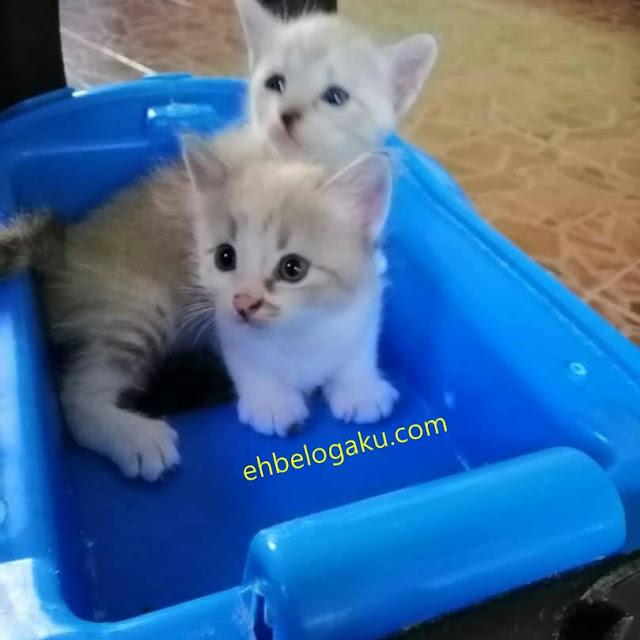 kittens, pemakanan kucing siam, anak-anak kucing siam
