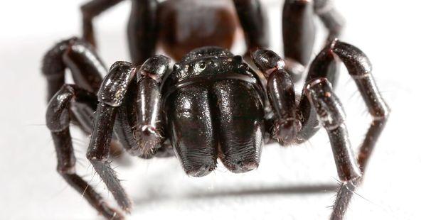 Huge dose of antivenom needed to save boy bitten by spider