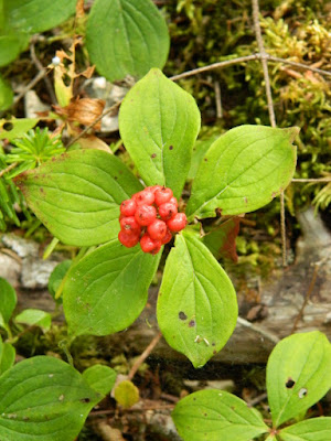 Bunchberry Cornus canadensis at Skyline Trail Cape Breton Highlands National Park by garden muses-not another Toronto gardening blog