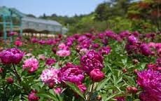 Guide How to Plant and Care Plants Peonies With Good and Right