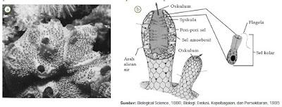 Ciri-Ciri, Reproduksi dan Contoh Spesies Hewan Filum Porifera dari Anggota Klasifikasi Kingdom Animalia