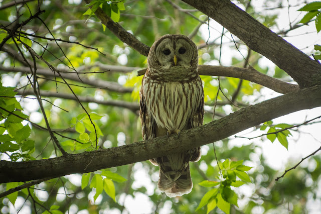 Barred Owl, Colleyville Nature Center