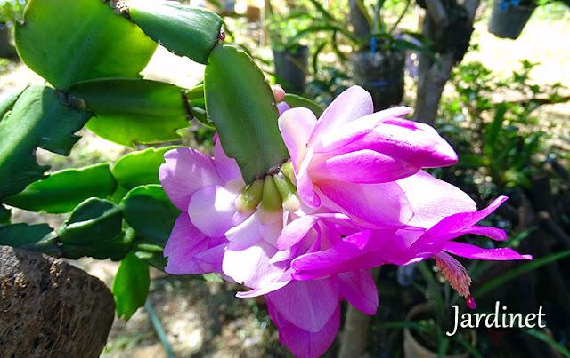 Flor de maio após adubação