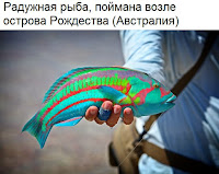 Радужная рыба, Австралия