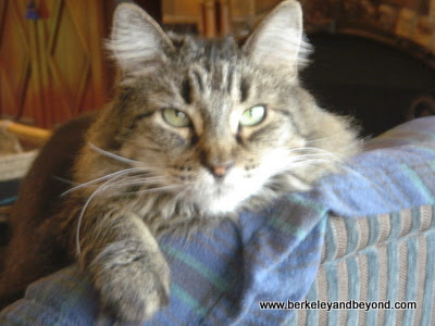 Maine Coon cat, Polly