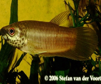 Jenis Ikan Cupang Spesies Betta Pardalotos