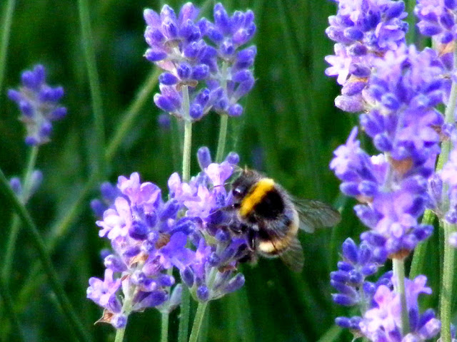 A bumble bee, most likely Bombus lucorum, on lavender.  Indre et Loire, France. Photographed by Susan Walter. Tour the Loire Valley with a classic car and a private guide.