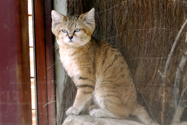 Sand Cat by Tanya Durrant from flickr (CC-ND)