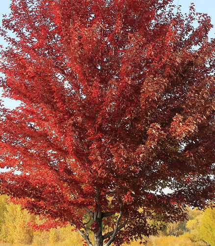 Sun Valley Maple tree Pros and Cons