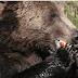 Υπερφαγία: Γιατί οι αρκούδες τρώνε πολύ το φθινόπωρο;