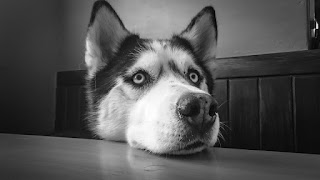 New Fellow Creatures post on Animal Cruelty, sparked by a case involving a husky.