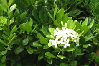 tanaman kemuning jawa