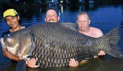 Ikan mas siam terbesar di dunia