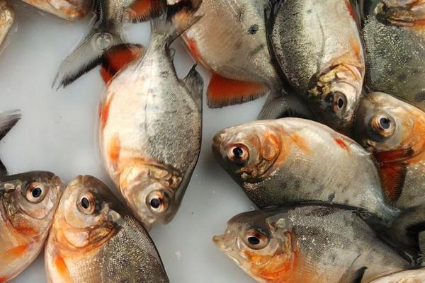 Supplier Jual Ikan Bawal Bibit & Konsumsi Tanjung Selor, Kalimantan Utara Murah
