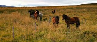Los caballos islandeses.