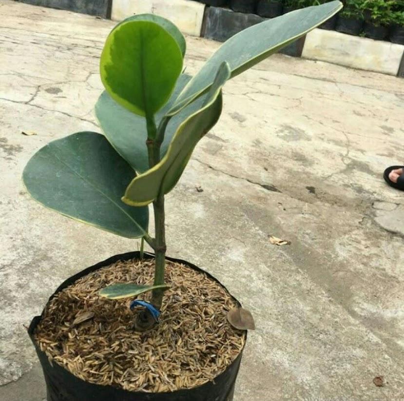 Bibit Manggis Langka Unik Putih Varigata Cepat Berbuah Dan Cocok Di Pot Banjar