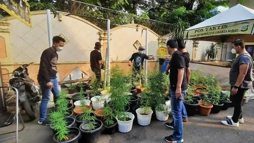 Polres Jakbar Bongkar Kebon Ganja Hidroponik Rumahan di Brebes