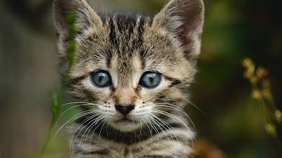 Cute Wallpaper, Pet, Kitten, Cat, Striped, Garden