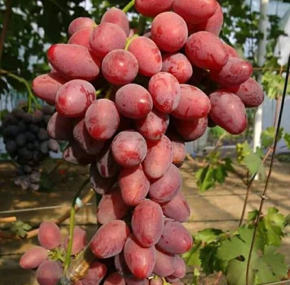 Bibit Anggur Import Taldun Hasil Grafting Jawa Timur
