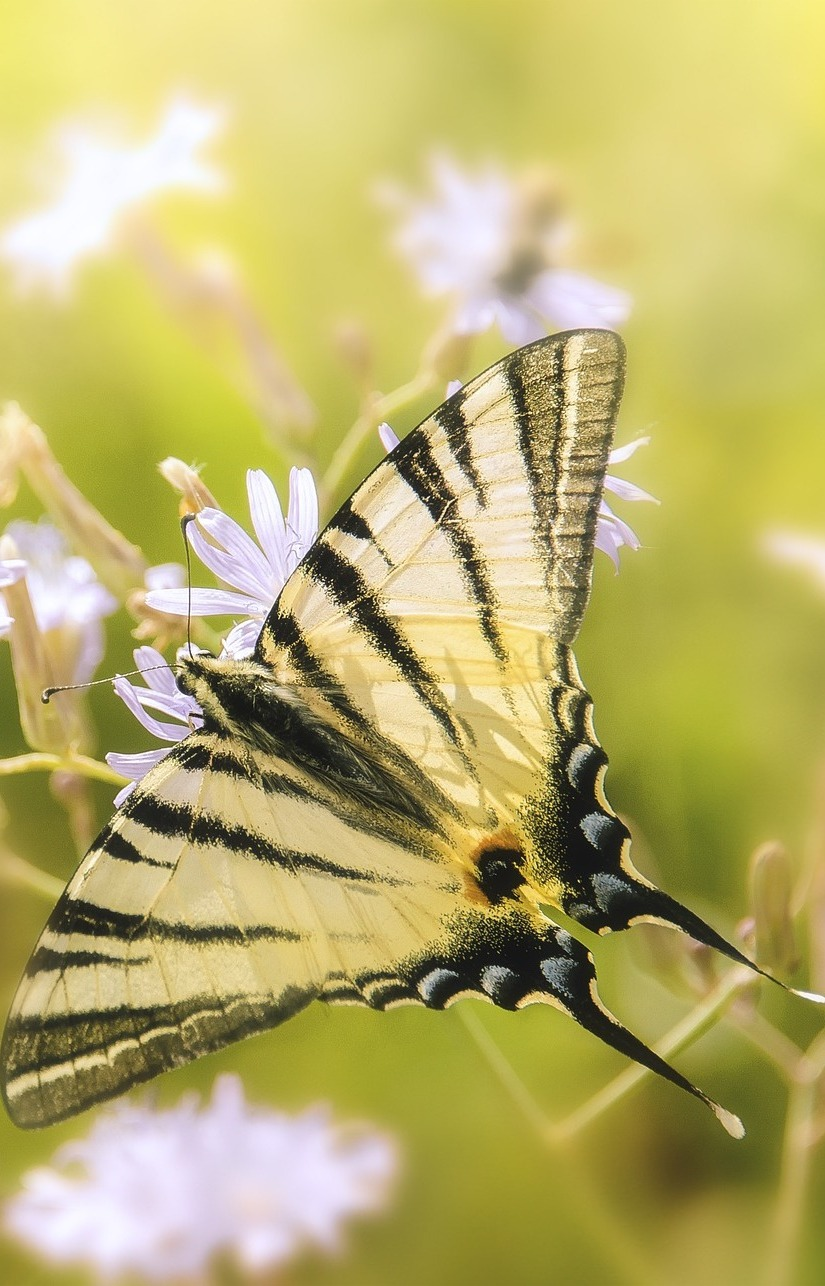 Beautiful swallowtail butterfly.