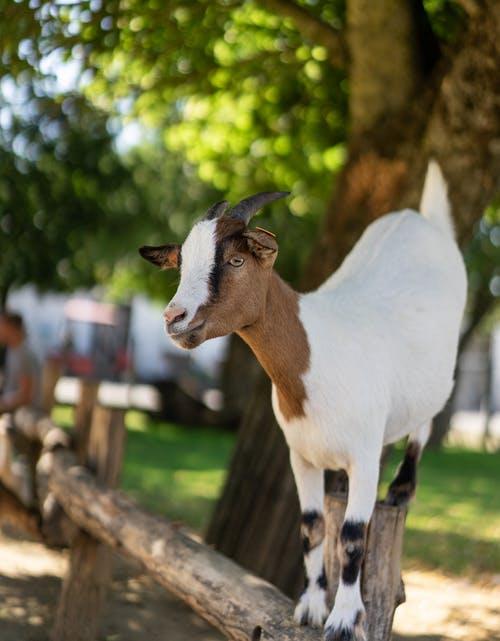دليل شامل لتربية الماعز للمبتدئين