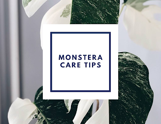 Monstera Care Tips - MUST READ
