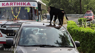 Lion-tailed macaque on top of my car at Valparai